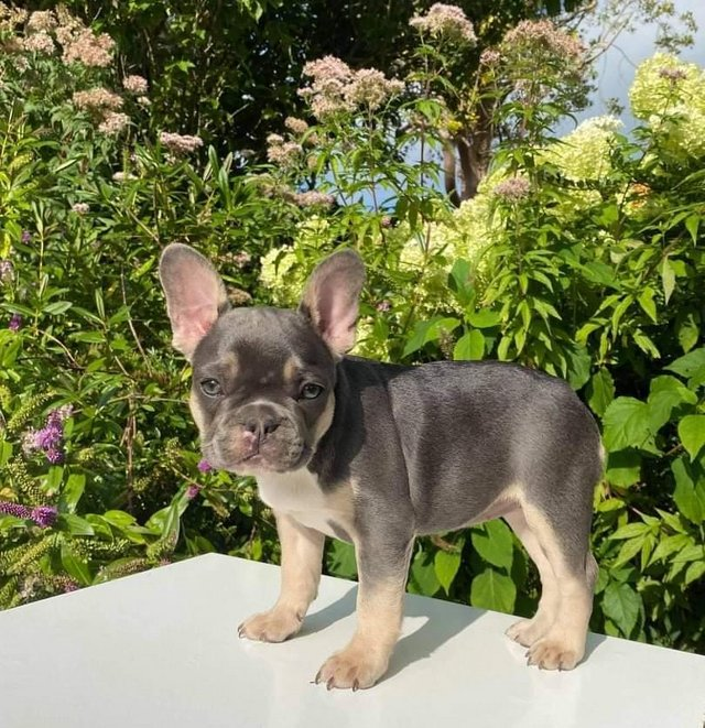 Preview of the first image of French bulldog puppies available.