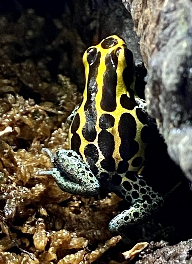 Preview of the first image of Ranitomeya Borja Ridge dart frogs.