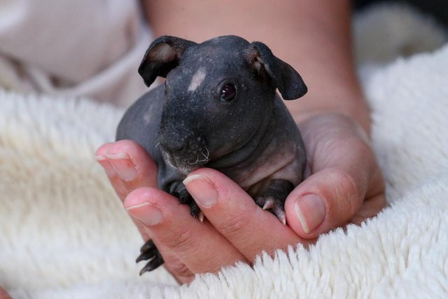 Preview of the first image of Skinny pig guinea pigs ready in December.