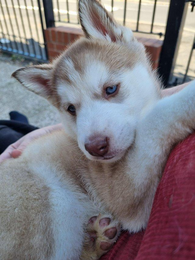 Preview of the first image of 1 husky girl left for sale £700 not kc registered.