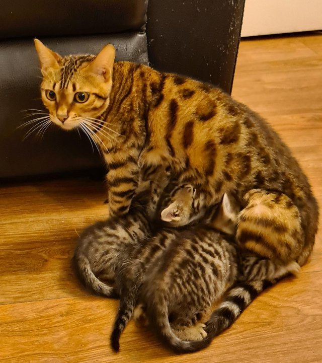 Image 4 of Beautiful Bengal kittens ready to go NOW