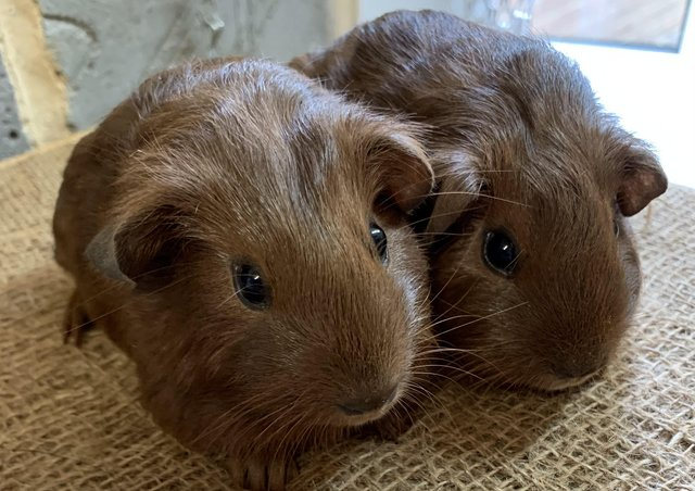 Image 2 of Baby male guinea pigs for sale