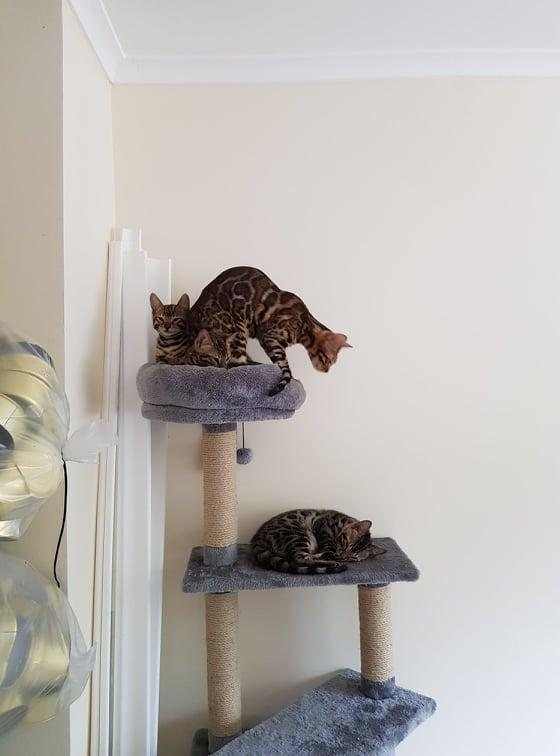 Image 2 of Bengal kittens 2 females and 1 male