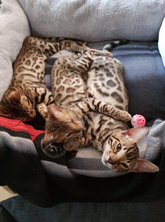 Image 3 of Bengal kittens 2 females and 1 male