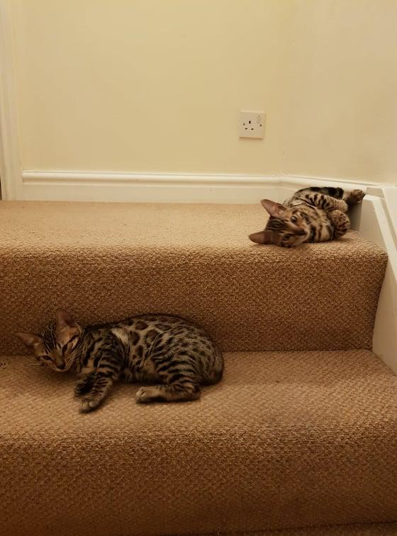 Image 4 of Bengal kittens 2 females and 1 male