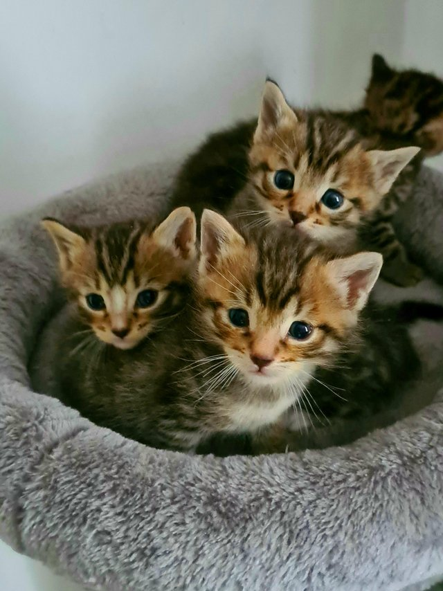 Image 8 of Beautiful Bengal kittens ready to go NOW