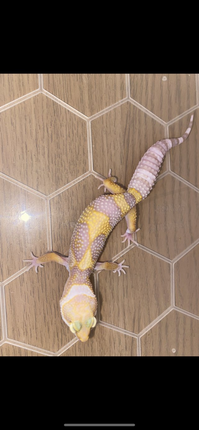 Image 2 of White and yellow tremper het murphys patternless and eclipse