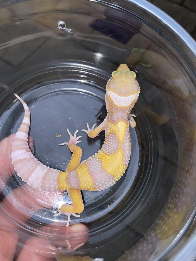 Image 3 of White and yellow tremper het murphys patternless and eclipse