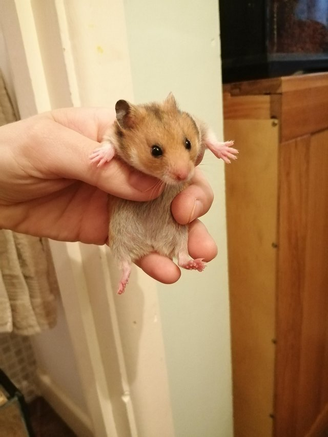 Image 2 of Baby Syrian hamsters. Male and Female