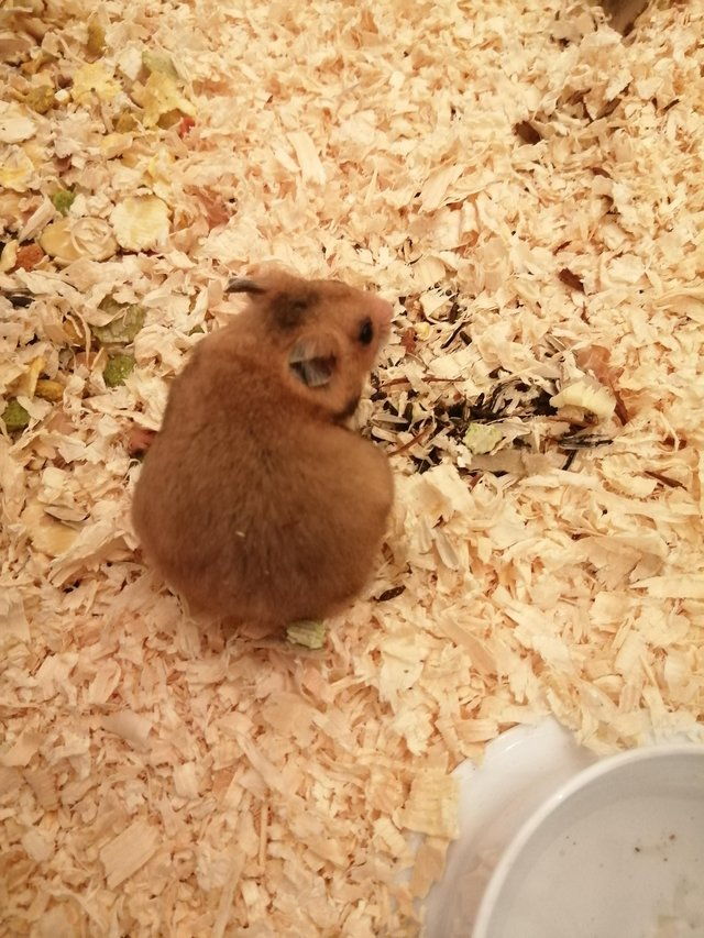 Image 3 of Baby Syrian hamsters. Male and Female