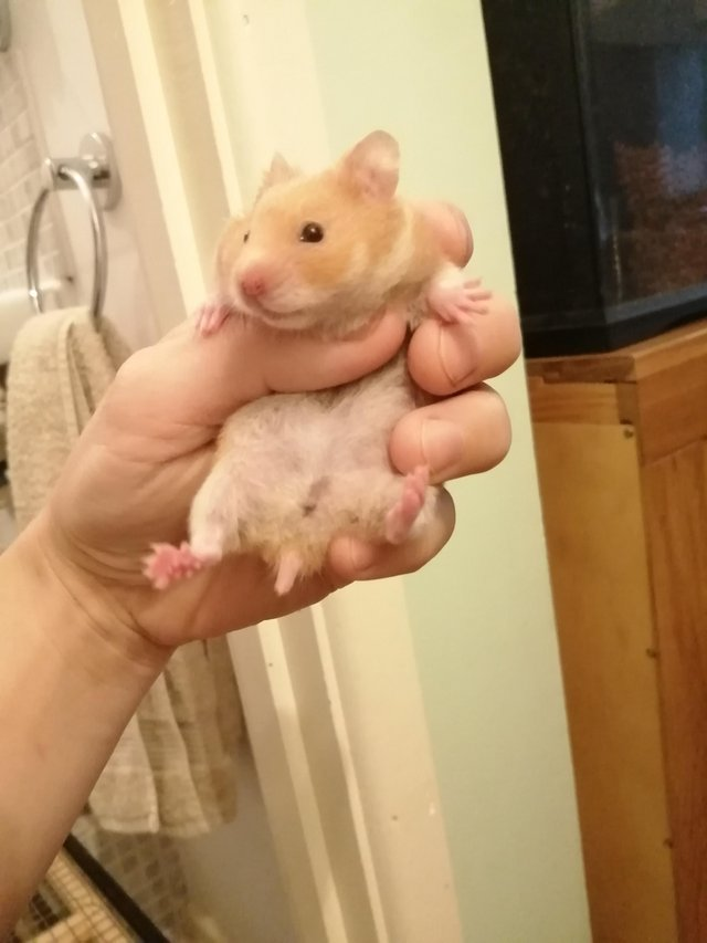 Image 4 of Baby Syrian hamsters. Male and Female