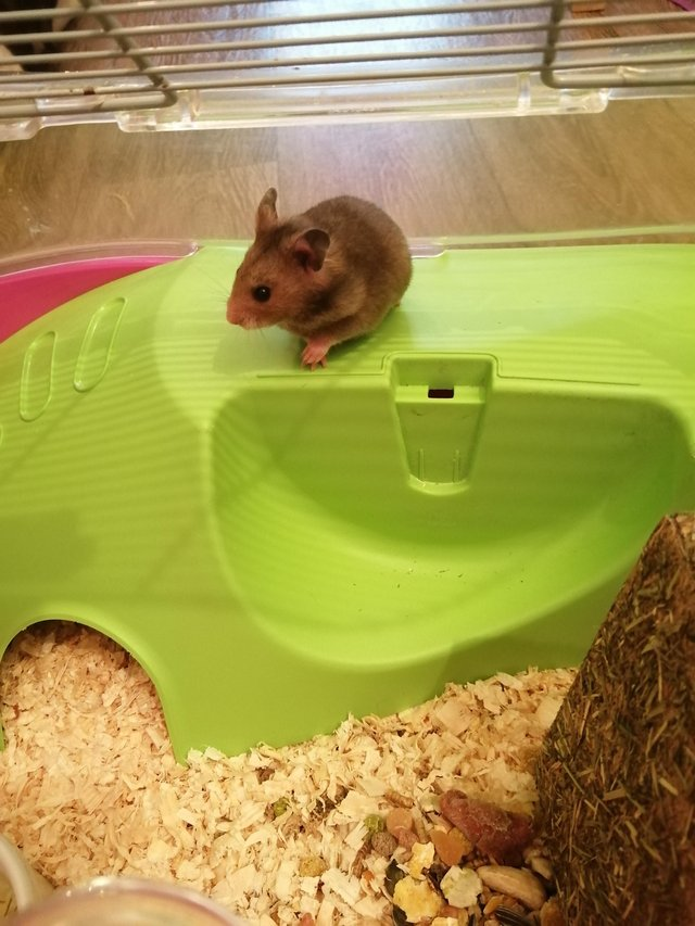 Preview of the first image of Baby Syrian hamsters. Male and Female.