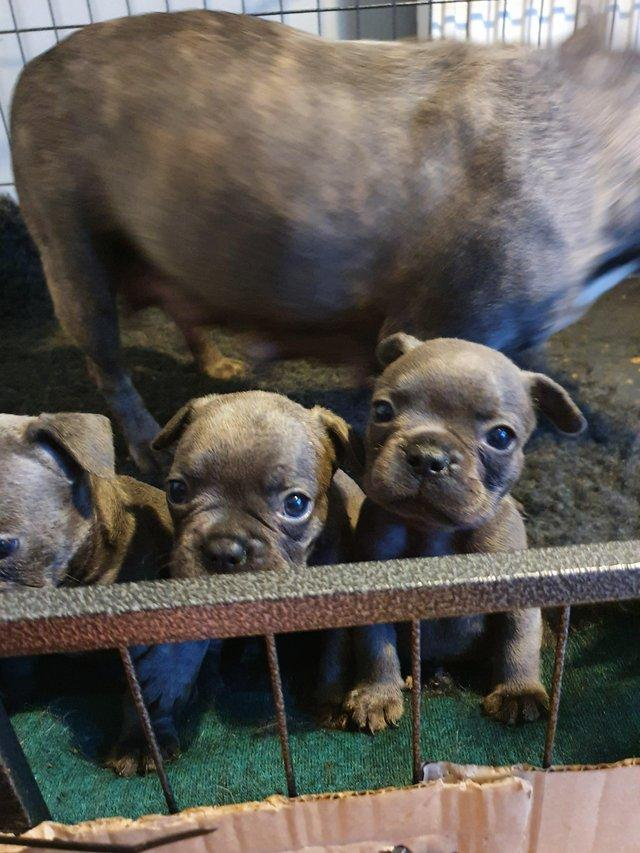 Image 5 of Blue French bulldog puppy. Ready to leave.
