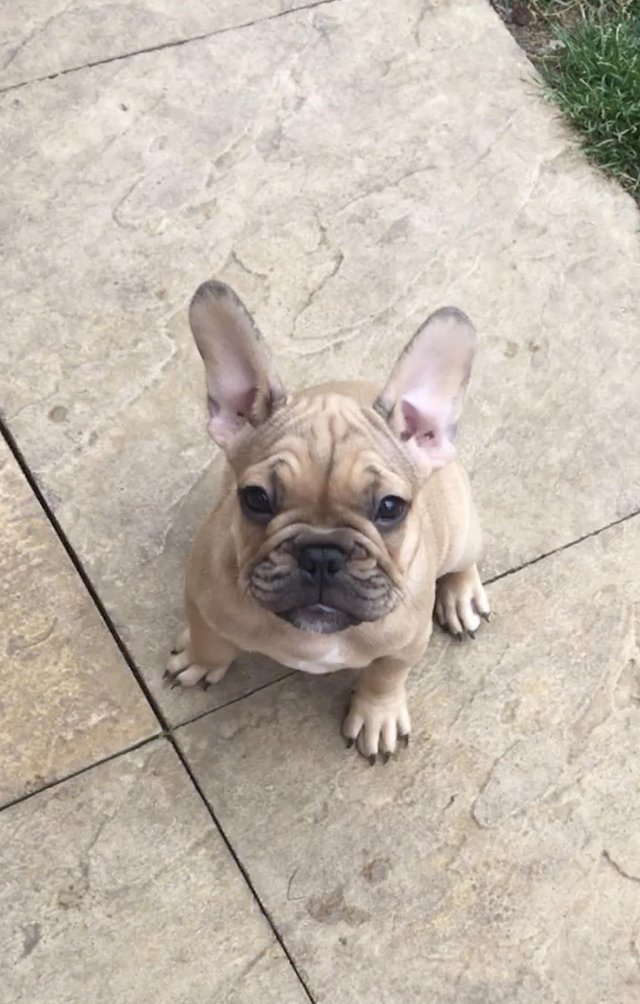 Preview of the first image of Amazing KC French bulldog puppies READY NOW.