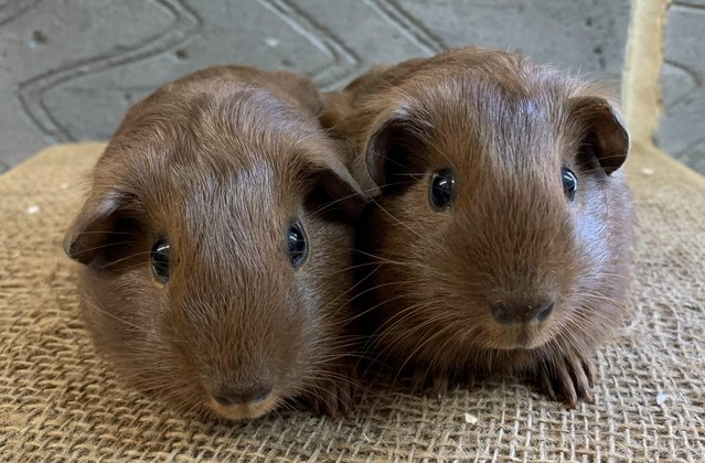 Image 3 of Baby male guinea pigs for sale