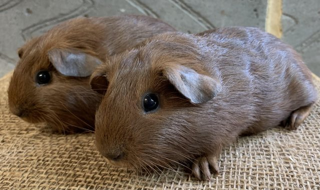 Image 4 of Baby male guinea pigs for sale