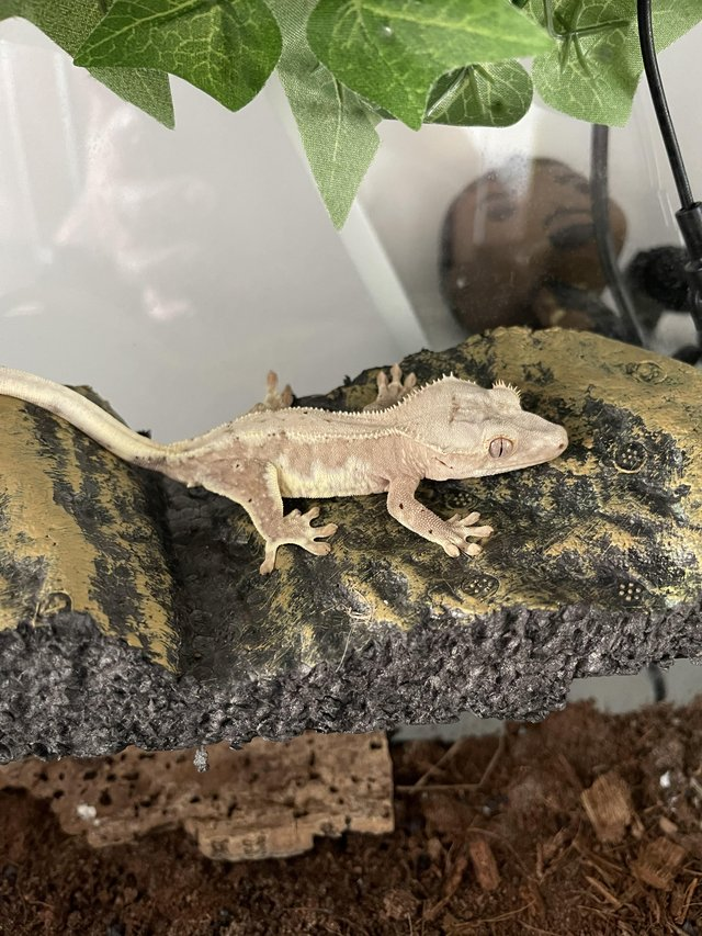 Preview of the first image of Male red / pink Lilly white crested gecko.