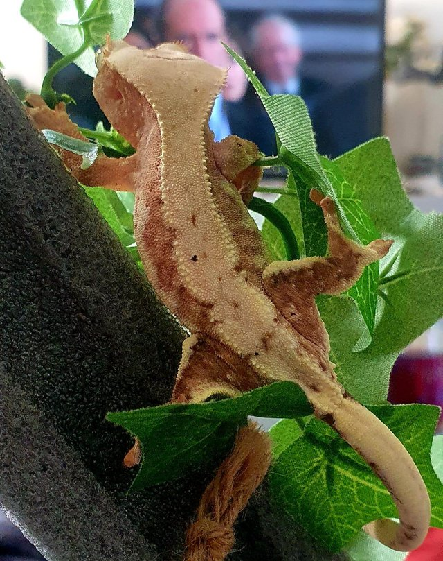 Image 3 of Male red / pink Lilly white crested gecko