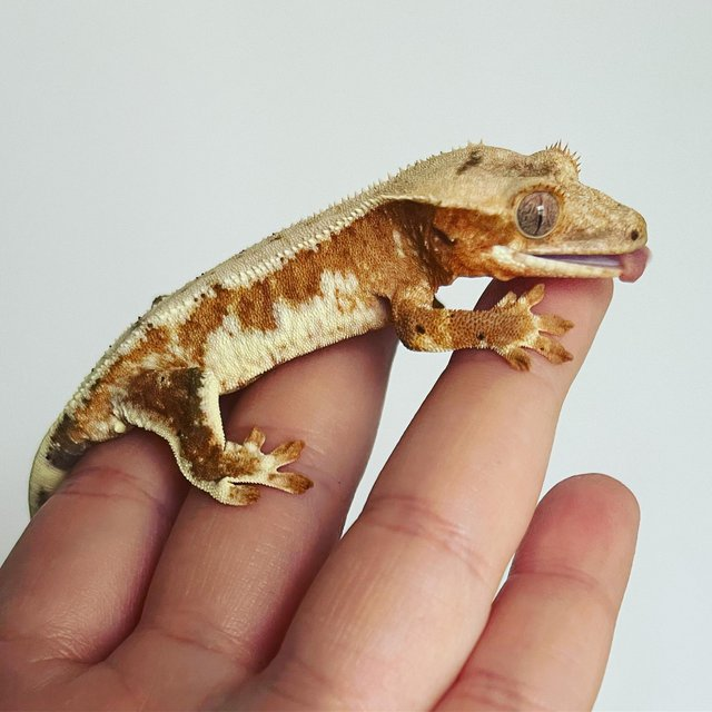 Image 4 of Male red / pink Lilly white crested gecko
