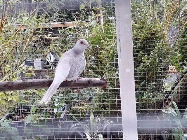 Image 4 of Diamond Doves. This year's young.