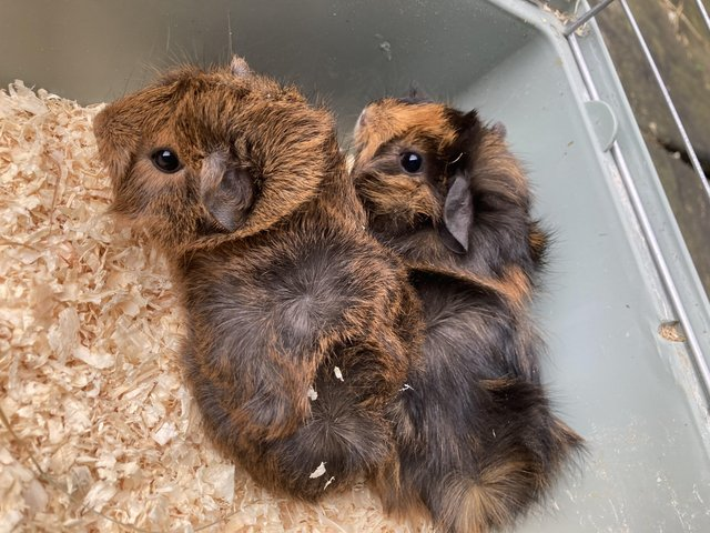 Image 2 of Girls (sows) ready for their forever homes