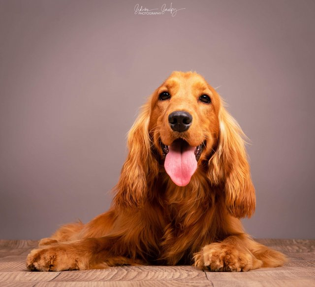 Preview of the first image of Fully Health Tested, KC reg show cocker spaniel at stud.