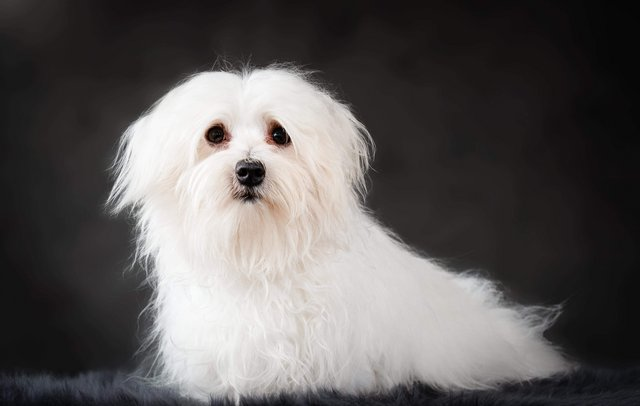 Preview of the first image of At Stud, Domino KC Reg fully health tested Maltese.