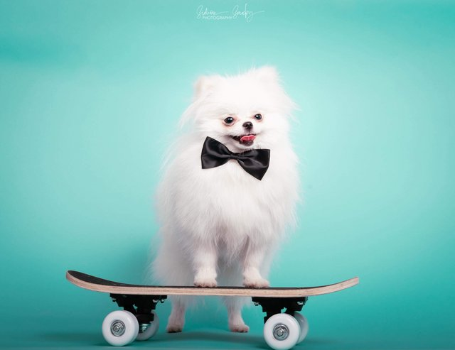 Preview of the first image of Top Quality, KC reg tiny white Pomeranian at stud.