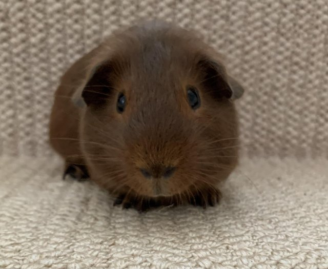 Preview of the first image of Baby male guinea pigs for sale.