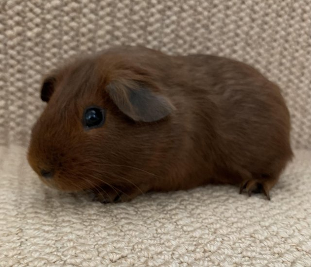 Image 5 of Baby male guinea pigs for sale