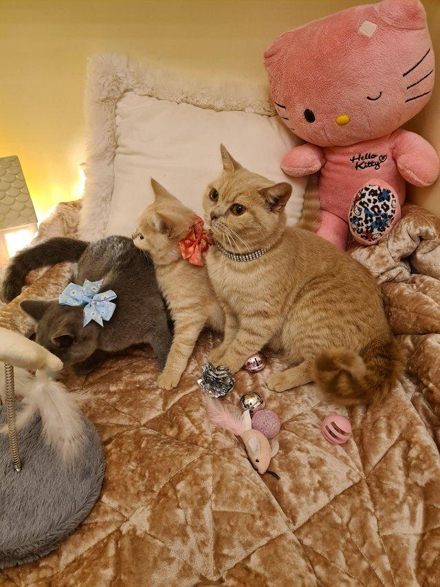 Preview of the first image of Beautiful British Shorthair Kittens.