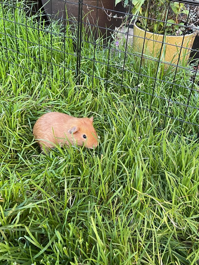 Image 2 of 2 Guinea Pig boars looking for caring homes