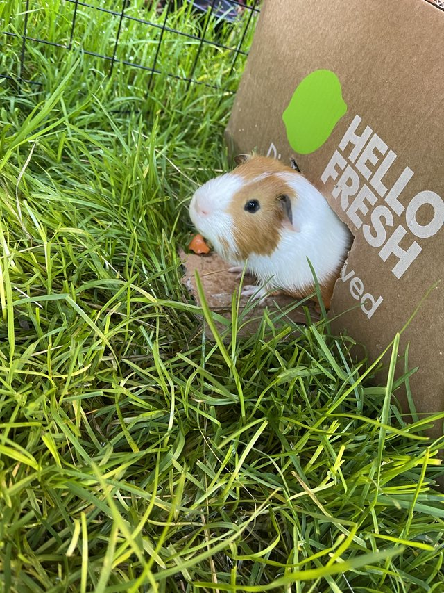 Image 3 of 2 Guinea Pig boars looking for caring homes