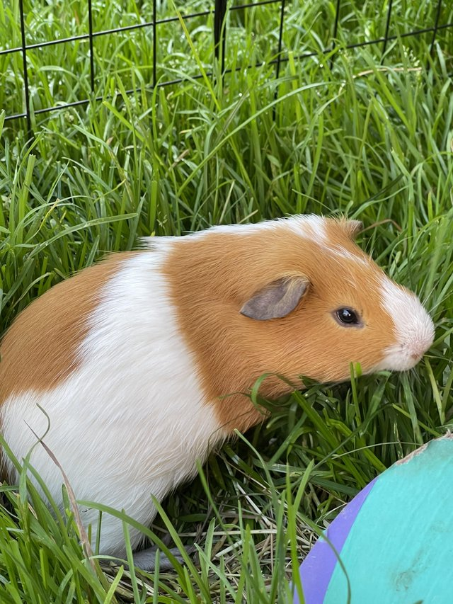 Image 4 of 2 Guinea Pig boars looking for caring homes
