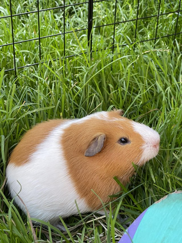 Image 5 of 2 Guinea Pig boars looking for caring homes