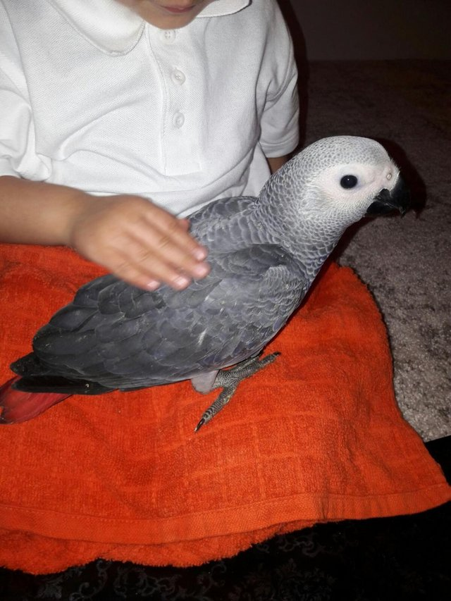 Preview of the first image of Silly Tame Baby African Grey Parrot.