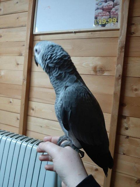 Image 3 of Silly Tame Baby African Grey Parrot