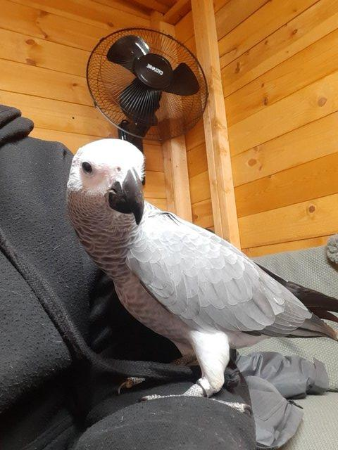 Image 2 of Silly Tame Baby African Grey Parrot