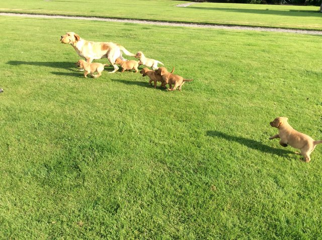 Image 2 of Labrador puppies yellow and fox red