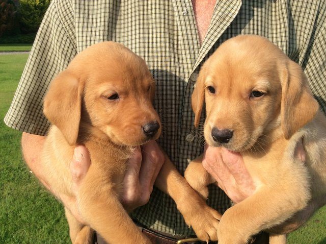 Preview of the first image of Labrador puppies yellow and fox red.