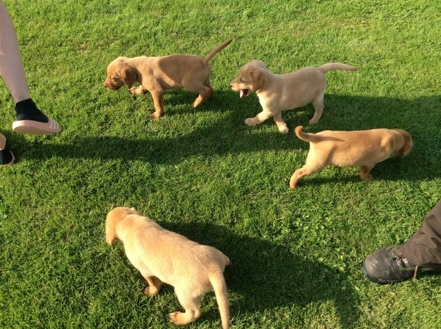 Image 3 of Labrador puppies yellow and fox red