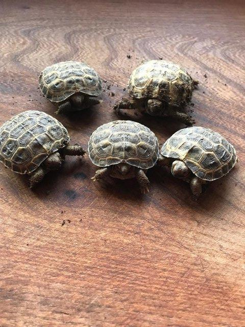 Preview of the first image of FOR SALE HORSFIELD TORTOISES CB 2021 BY PRIVATE BREEDER.