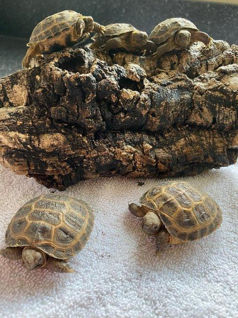 Image 2 of FOR SALE HORSFIELD TORTOISES CB 2021 BY PRIVATE BREEDER