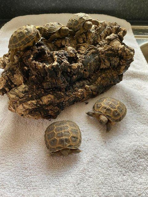 Image 3 of FOR SALE HORSFIELD TORTOISES CB 2021 BY PRIVATE BREEDER