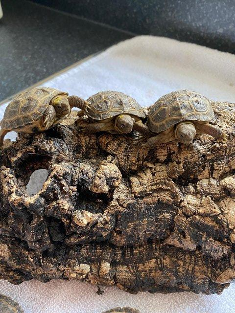 Image 4 of FOR SALE HORSFIELD TORTOISES CB 2021 BY PRIVATE BREEDER