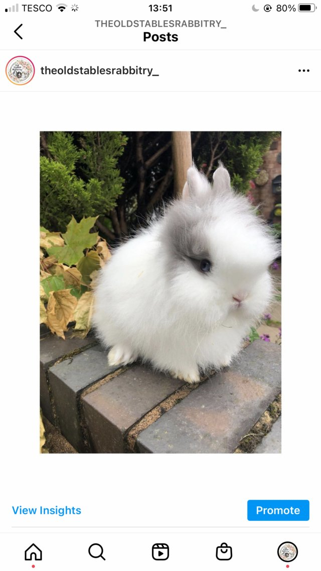 Image 2 of Lionheads forsale bucks and does