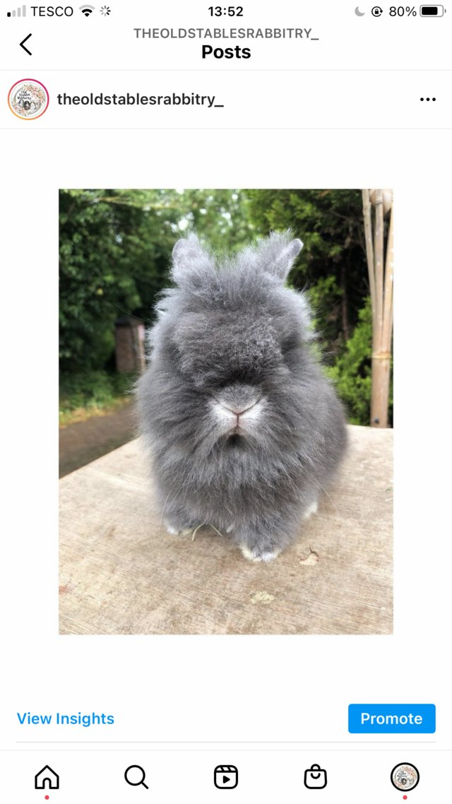 Image 3 of Lionheads forsale bucks and does