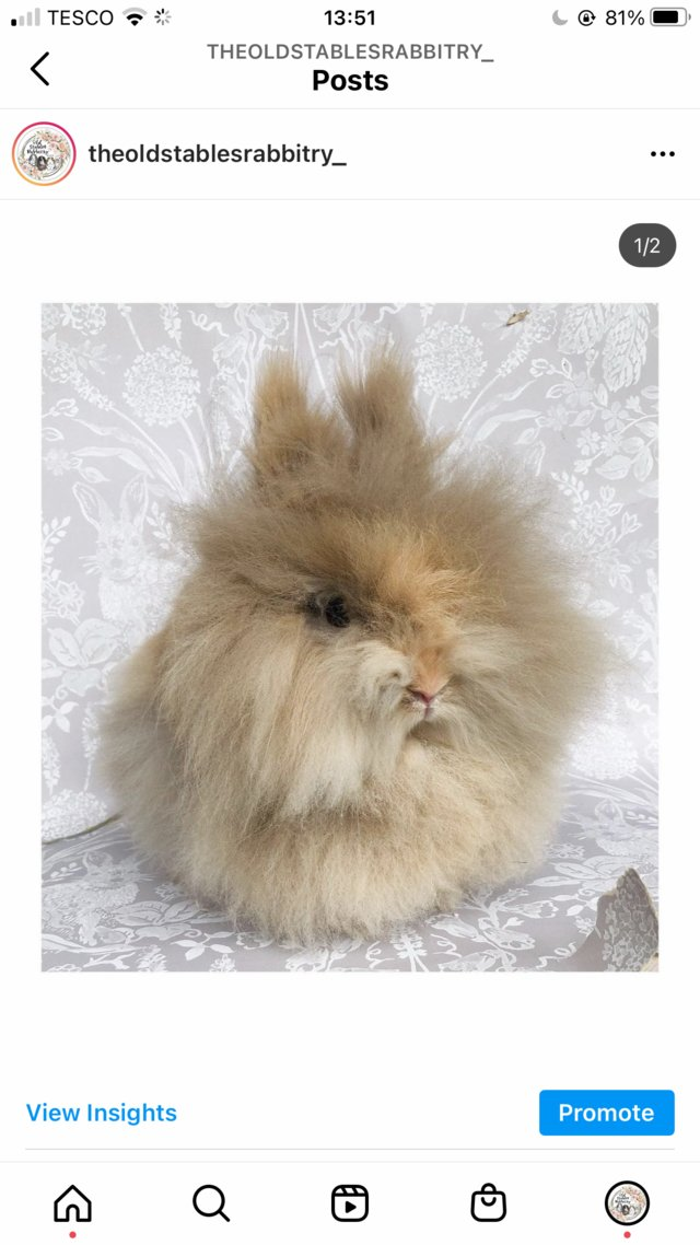 Image 4 of Lionheads forsale bucks and does