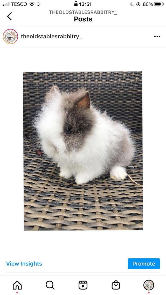 Image 5 of Lionheads forsale bucks and does