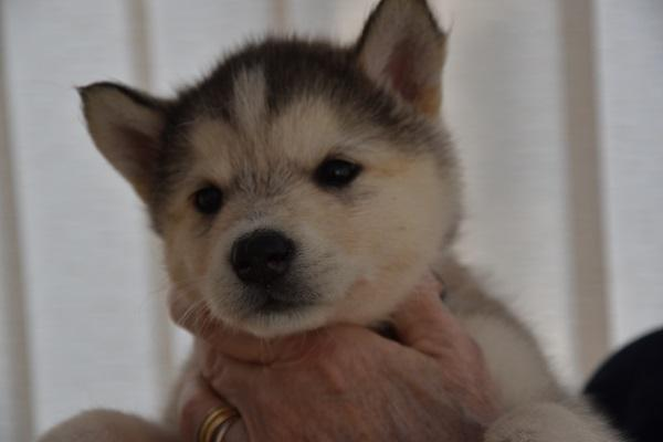 Preview of the first image of Alaskan Malamute puppies for sale, ready in 3 weeks time..